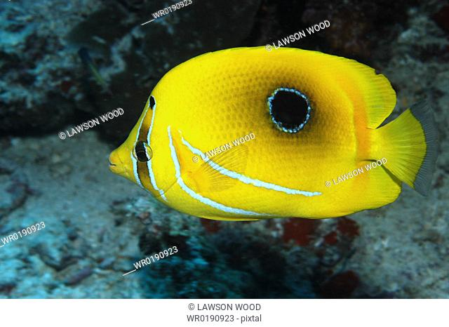 Bennett's Butterflyfish Chaetodon bennetti, view of superb markings in profile against indistinct background, Mabul, Borneo, Malaysia