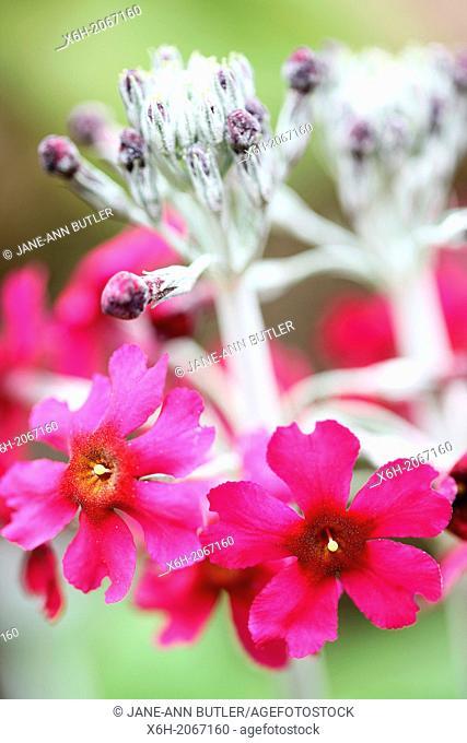 bewitching dark pink candelabra primrose beesiana