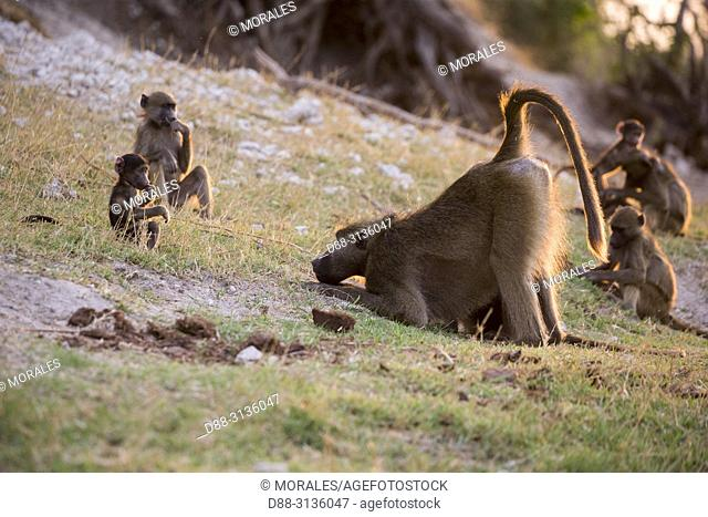 Africa, Southern Africa, Bostwana, Chobe i National Park, Chobe river, Chacma Baboon (Papio ursinus), grooming
