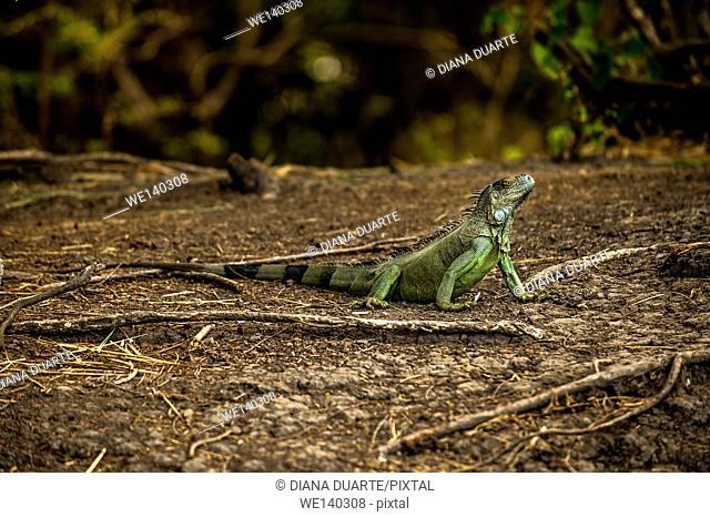'Green Iguana ( Iguana iguana )'. During breeding months, secretory activity peaks, and at that time, the dominant breeding males produce more secretion than...