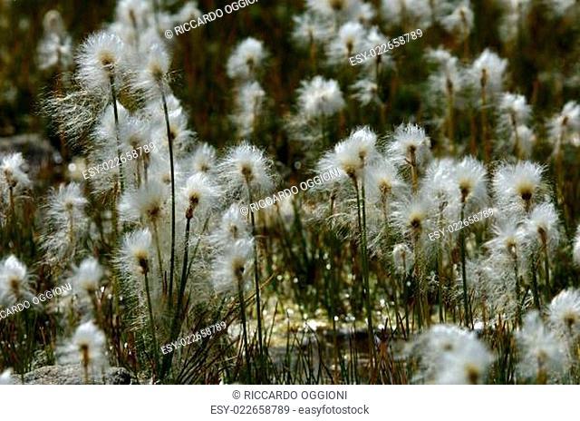 cotton-grass, cottongrass, cotton grass, Eriophorum sp., Urtier valley