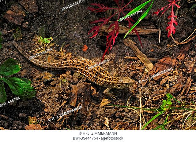 sand lizard (Lacerta agilis), female on the ground, view from above, Germany