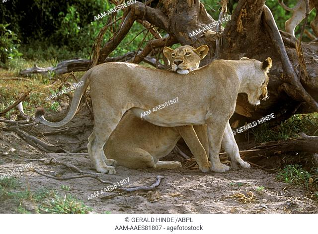 Two Lions (Panthera leo), Kruger N.P., S. Africa