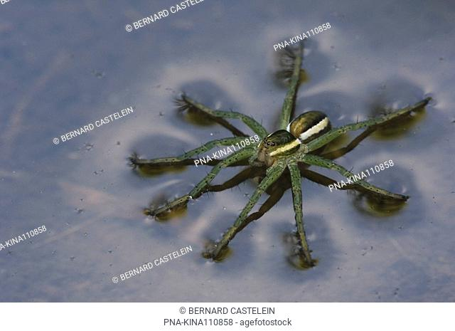 Raft spider Dolomedes fimbriatus - Wuustwezel, Antwerp, Flanders, Belgium, Europe