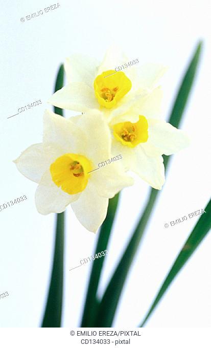 Daffodil, Narcissus tazetta