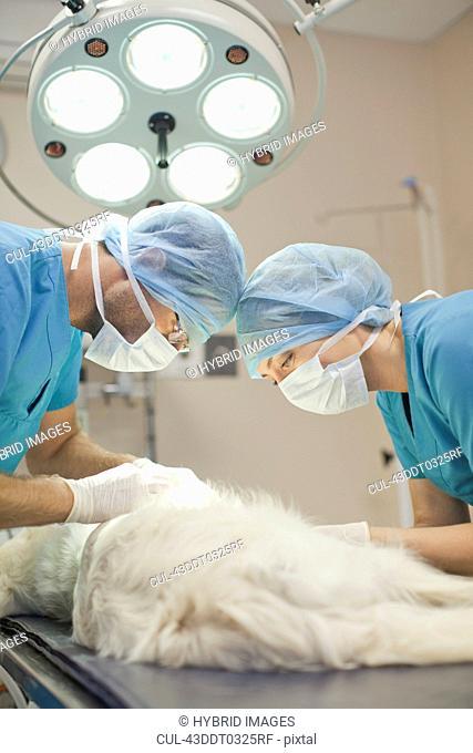 Veterinary surgeons working on dog