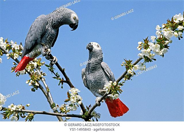 African Grey Parrot, psittacus erithacus, Adults standing in Blossom Tree