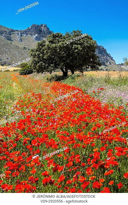 Nature landscape. Field of poppy flowers. Málaga province. Andalusia, Southern Spain Europe