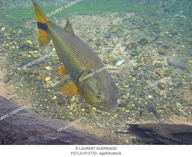 Fish, Dourado, Salminus brasiliensis, Bonito, Mato Grosso do Sul, Brazil