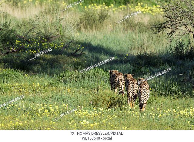 Cheetah (Acinonyx jubatus). Roaming. During the rainy season with green grass and yellow Devil's Thorn (Tribulus zeyheri) flowers