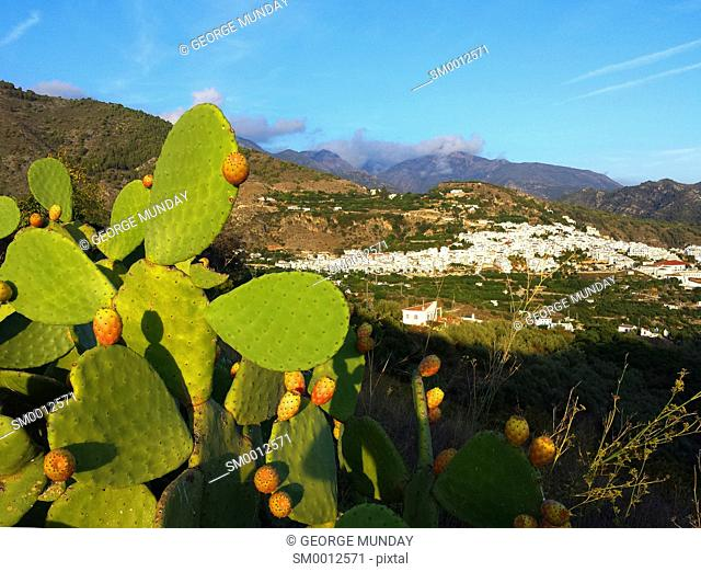 Prickly Pear Cactus above Frigiliana,