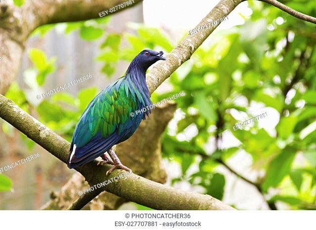 Nicobar Pigeon perch on tree,Caloenas nicobarica