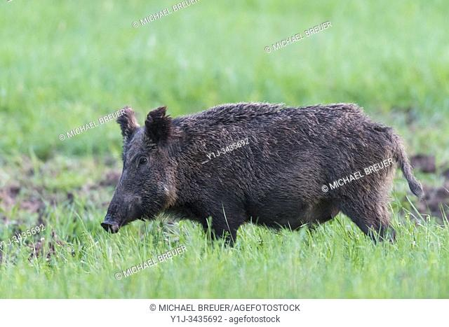 Wild boar (Sus scrofa) in springtime, Female, Hesse, Germany, Europe