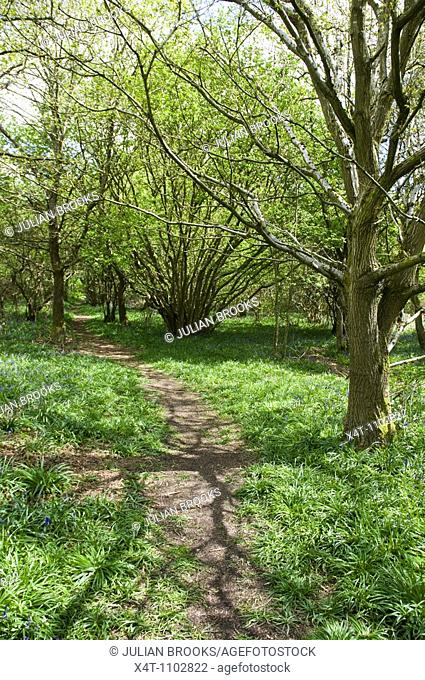 A path meandering through the woods with bluebells in Oxfordshire, UK  Springtime, May
