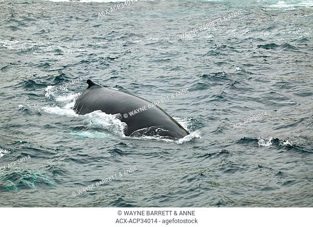 Breaching Humpback Whale Megaptera novaeangliae in Witless Bay Ecological Reserve, Newfoundland and Labrador, Canada