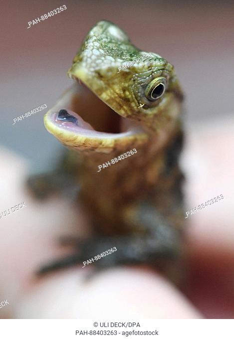 Young crocodile lizards can be seen at the Vivarium of the State Museum for Natural Science in Karlsruhe, Germany, 24 February 2017
