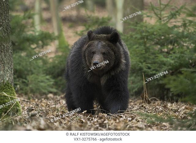European Brown Bear ( Ursus arctos ), walking through the undergrowth of an autumnal forest, comes closer, frontal shot, Europe