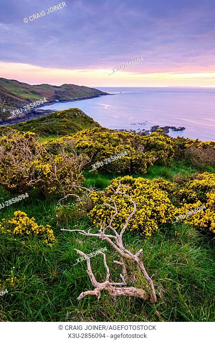 Gorse flowering in spring on the cliff top overlooking Rockham Bay with Mortre Point beyond. North Devon, England