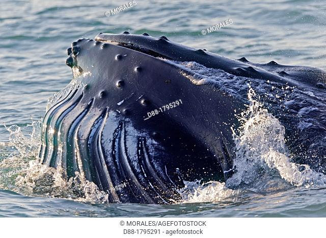 Norway, Svalbard, Spitsbergen, Nordaustlandet , Humpback whale  Megaptera novaeangliae , Mouth open with lateral lunge  ,surface feeding