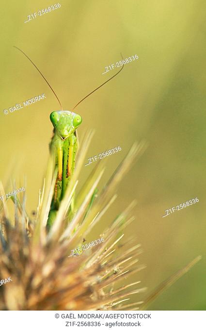 Praying mantis on wild teasel