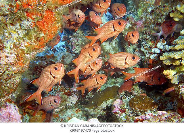 School of Blotcheye soldierfishes (Myripristis murdjan) at a colorful reef wall, Indian Ocean, Maledives, South Asia