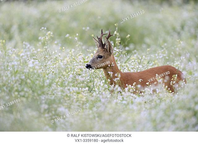 Roe Deer / Reh ( Capreolus capreolus ), strong buck with nice antlers, standing, hiding in a flowering springlike meadow, a sea of blossoms,