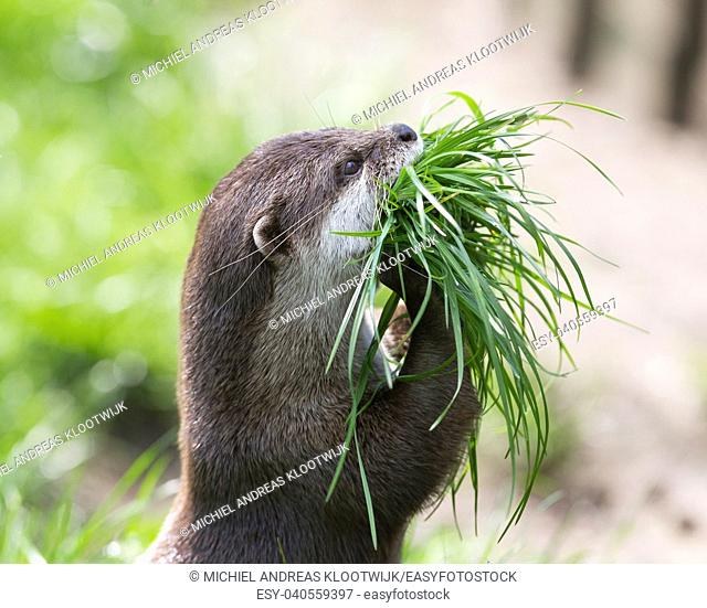 Small claw otter gathering nest material - Fresh green grass