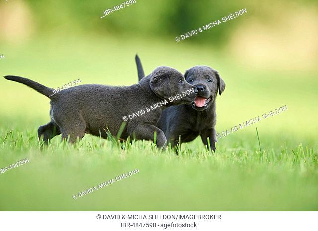 Black Labrador Retriever, two pups playing on a meadow, Germany