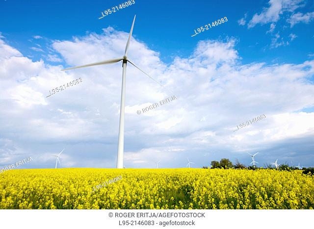 Power wind mills across fields of Canola (Brassica napus) or colza cultivated fields in spring, Spain