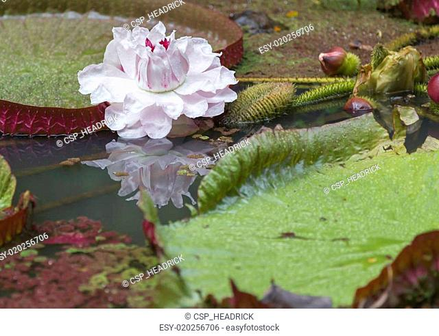 Victoria Amizonica Water Lily