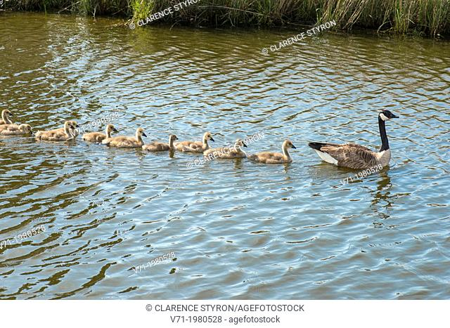 Canada Geese Branta canadensis Mother leading goslings for swim at Corolla, NC USA