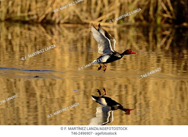 Male red duck Netta rufina. Photographed in the lagoon of Rivas Vaciamadrid in the Southwest Regional Park in Madrid