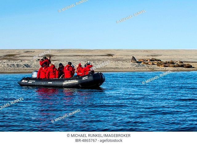 Tourists in a zodiac watching a walrus (Odobenus rosmarus) colony, lies on gravel bank, Torellneset, Arctic, Svalbard