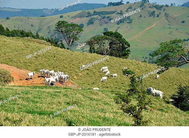 Livestock of the Nelore breed in the countryside, Munhoz , Minas Gerais, Brazil . 10.2015
