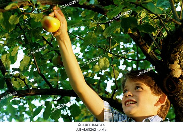 Young boy picking an apple