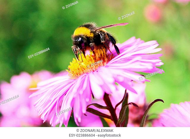 bumblebee sits on the aster and collects the necta