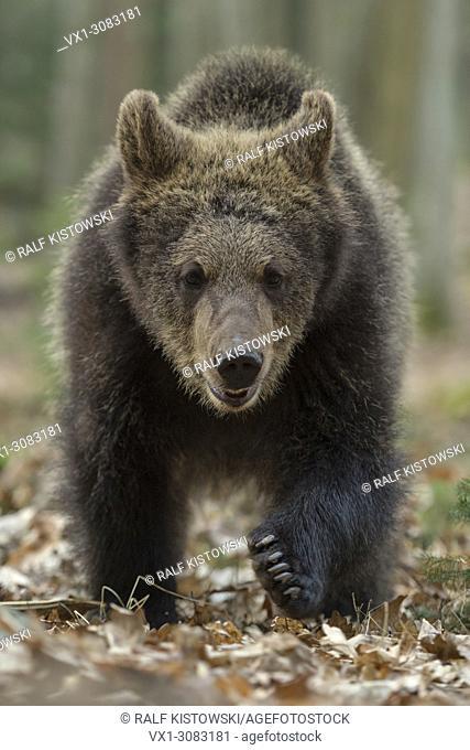 European Brown Bear ( Ursus arctos ), young cub walking directly towards, frontal shot, seems to be curious, Europe