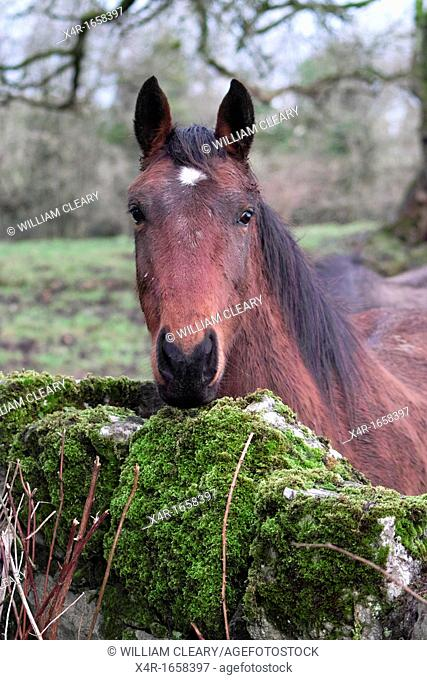 A young thoroughbred horse looking over a stone wall