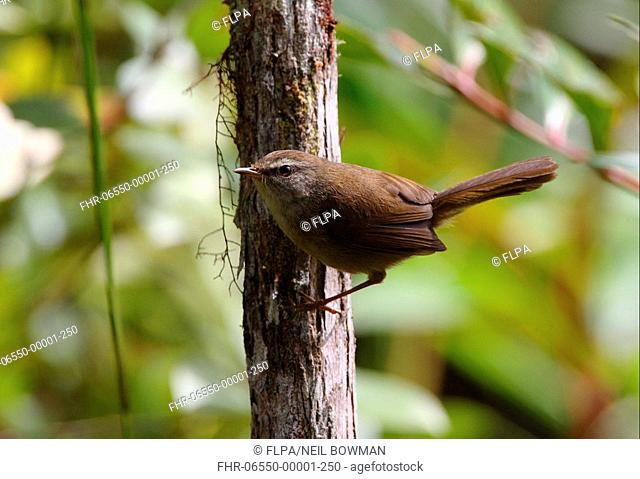 Sunda Bush-warbler Cettia vulcania oreophila adult male, perched on tree trunk, Crocker Range N P , Sabah, Borneo, Malaysia, january
