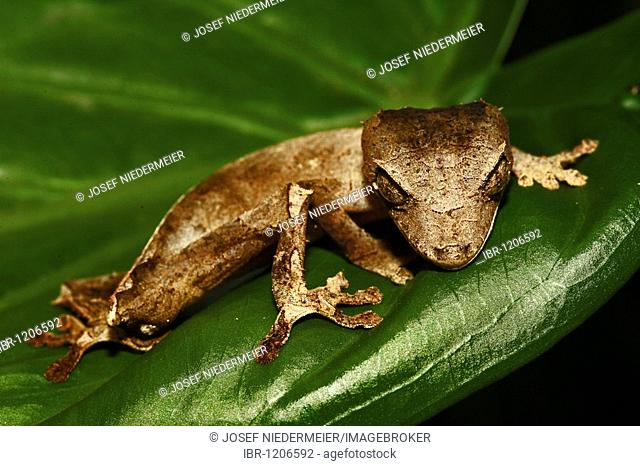 Spear Leaf Tailed Gecko (Uroplatus ebenaui), Nosy Be, North Madagascar, Madagascar, Africa