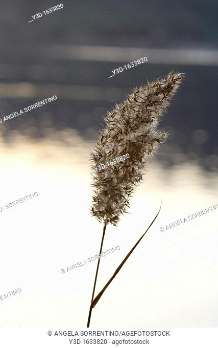 Reed flower on lake