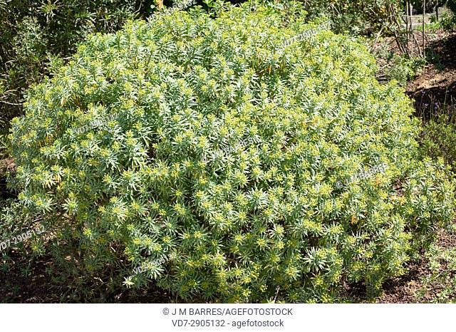 Figueira do inferno (Euphorbia piscatoria) is a shrub endemic of Madeira Island, Portugal