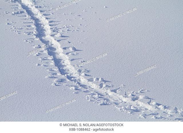 AdÈlie penguin Pygoscelis adeliae toboggan prints in fresh snow near the Antarctic Peninsula, Antarctica  MORE INFO  AdÈlie penguins are among most southerly...