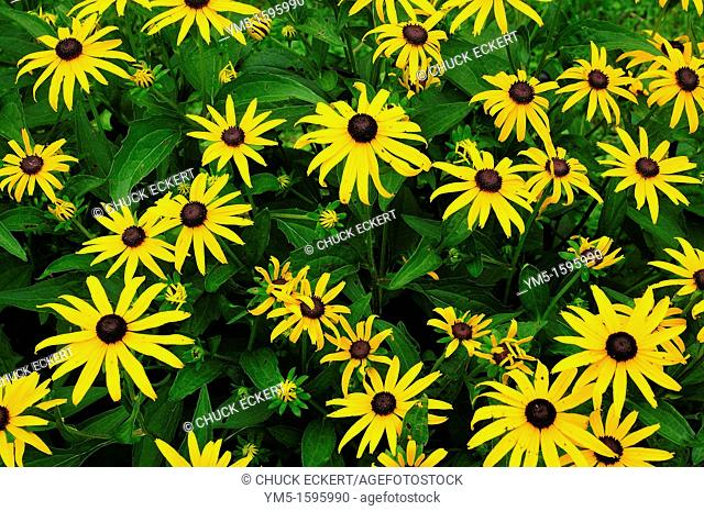 Black Eyed Susan's in Illinois, USA