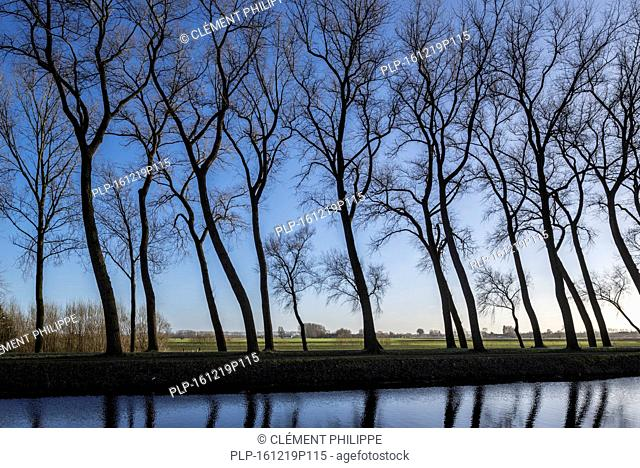 Silhouettes of leaning poplar trees bordering canal Damse Vaart in winter near Damme, West Flanders, Belgium