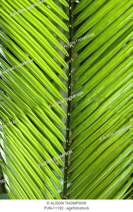 Close-up of a palm leaf in the Daintree Rainforest, Queensland, Australia