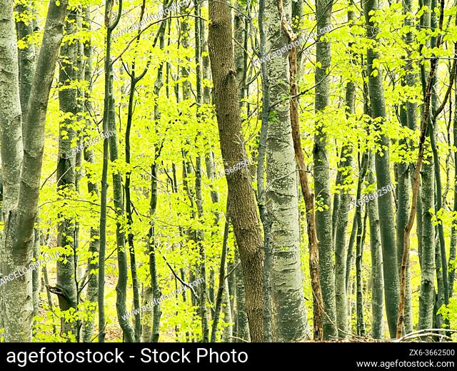 Springtime beech forest (Fagus sylvatica) at Coll Sovirana site. Montseny Natural Park. Barcelona province, Catalonia, Spain