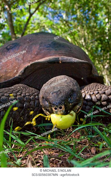 Wild Galapagos giant tortoise Geochelone elephantopus feeding on fallen passion fruit on the upslope grasslands of Santa Cruz Island in the Galapagos Island...