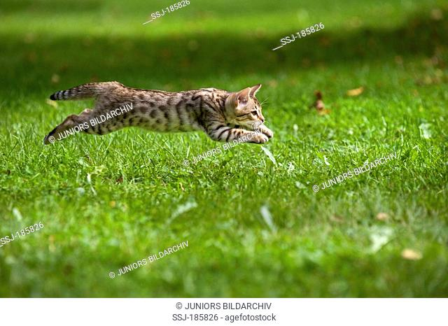 Bengal Cat. Kitten (10 weeks old, rosetted pattern) running on a meadow