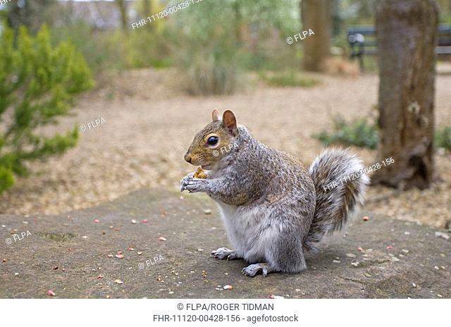 Eastern Grey Squirrel Sciurus carolinensis introduced species, adult, feeding in urban park, Norfolk, England, april